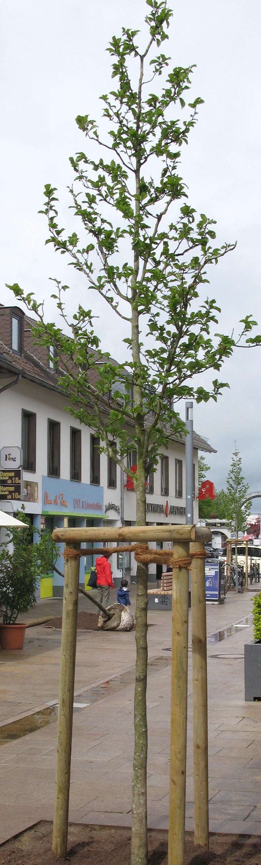 In der Kaufhofpassage wurden jetzt vier neue Bäume gepflanzt. Dabei handelt es sich um Kobushi-Magnolien.